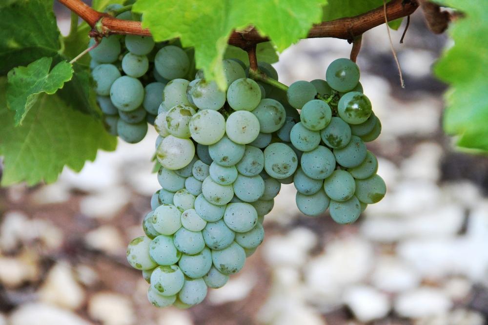 Chenin Blanc Grapes Vineyard