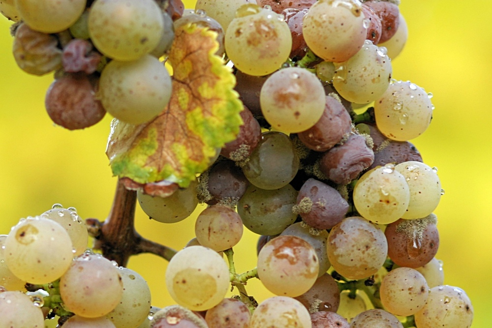 Botrytis Cinerea Vineyard