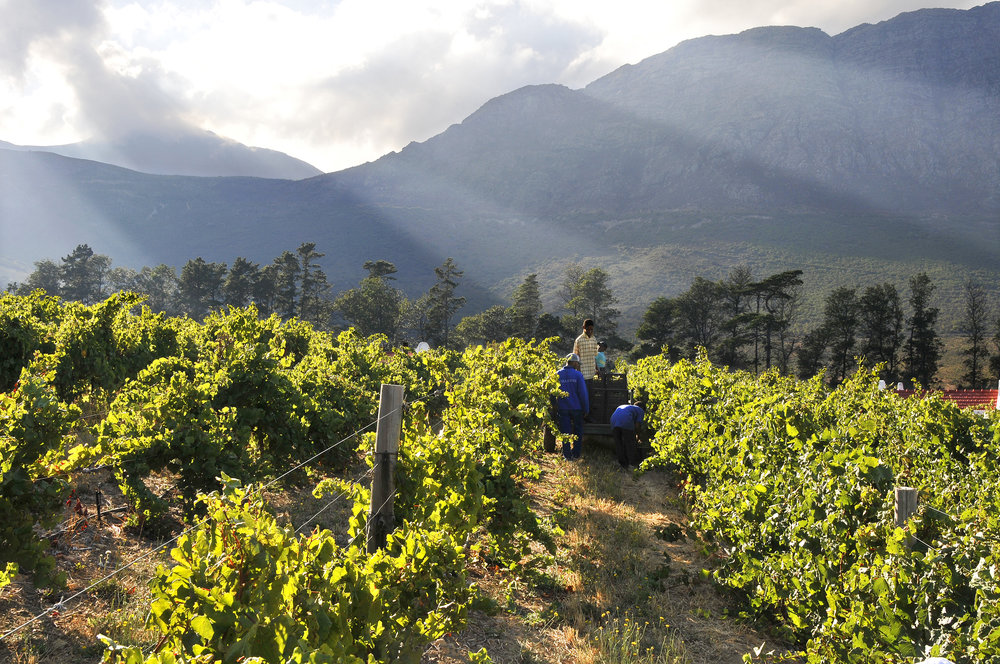 Chamonix Vineyard in South Africa