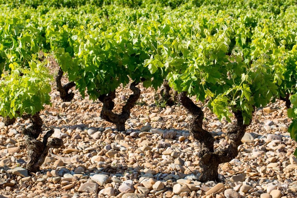 The Drinks Business: Marqués de Cáceres looks for 'landmark' wine | 2/21/17