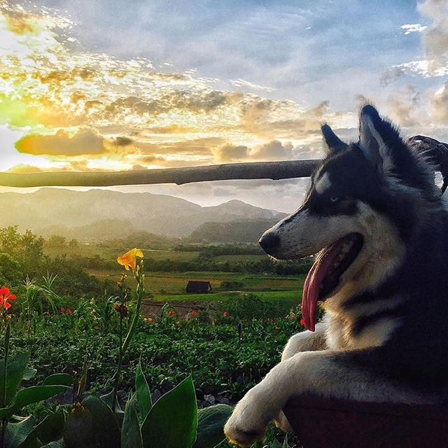 A Husky in Cuba? Yes it's possible! This gorgeous pup's name is Vicky and belongs to Yos, one our Caravan: Cuba leaders. We were lucky to have her join us on the journey during our latest Caravan. Looks like she enjoyed this Vinales sunset just as much as we did 🐶🌅