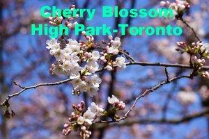 Cherry Blossom High Park- Toronto.jpg