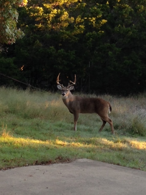 A Big Buck Stops By To Say Hello