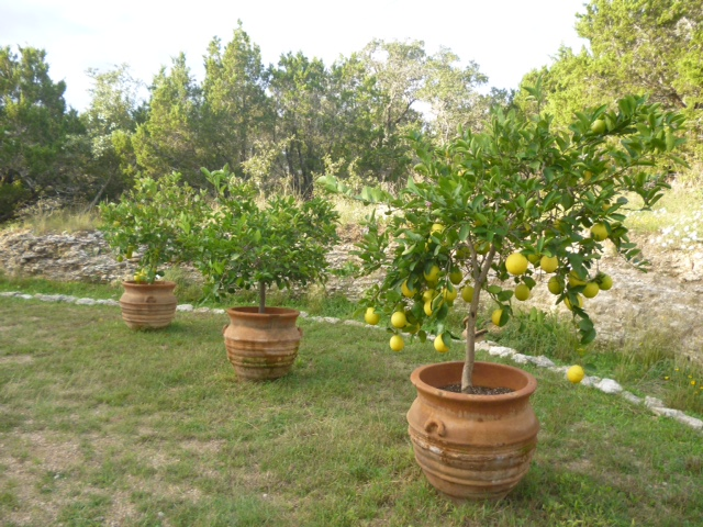 The tiniest little orchard at Villa Vigneto Texas