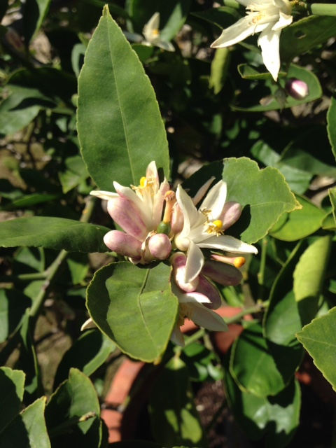 The sweet smelling blooms of our lemon trees
