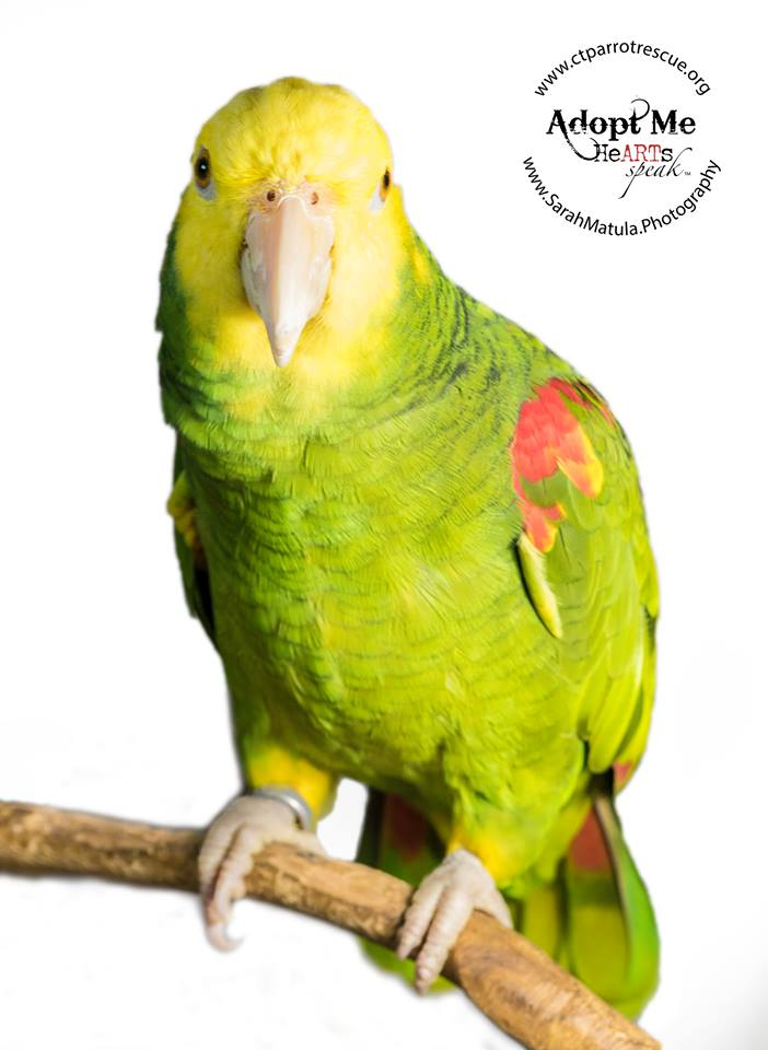ADOPTION PENDING - Simon is a Double Yellow Headed Amazon, he's approximately 22 years old. He is a love and joy once he gets to know you. He is food motivated, enjoys out of cage time and head scratches. Simon eats a healthy pelleted diet and enjoys vegetables and fruit. He is a big fan of bells! Amazons live for 60+ years and are native to South America.Simon is a Double Yellow Headed Amazon, he's approximately 32 years old. He is a love and joy once he gets to know you. He is food motivated, enjoys out of cage time and head scratches. Simon eats a healthy pelleted diet and enjoys vegetables and fruit. He is a big fan of bells! Amazons live for 60+ years and are native to South America. PHOTO COURTESY OF: Sarah Matula Photography:  https://www.facebook.com/matulaphoto  and  http://www.sarahmatula.photography/
