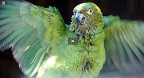 WATCH PBS'   Parrot Confidential   TODAY! Click on the image on the right or on the link below.    http://www.pbs.org/wnet/nature/parrot-confidential-parrot-confidential/8496/