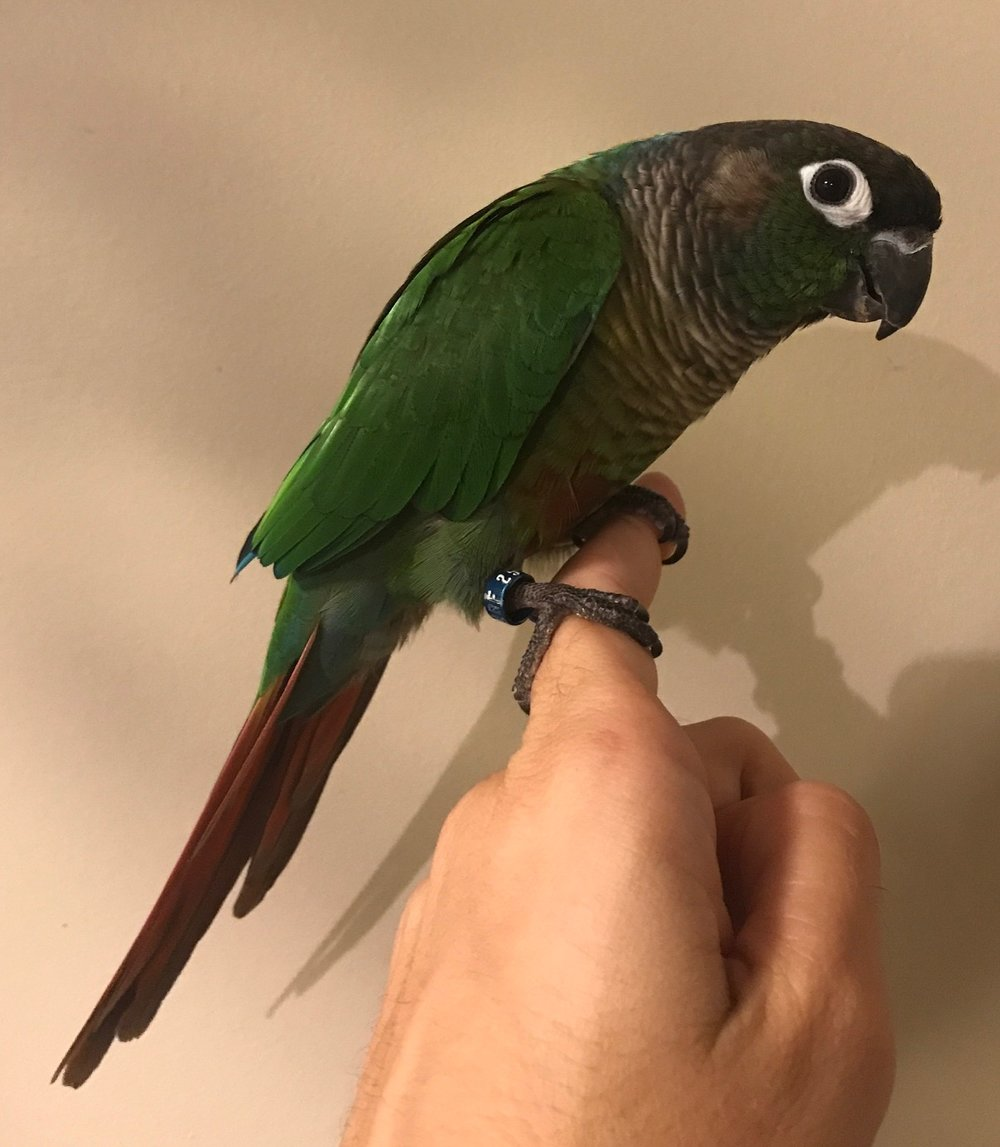 Buddy a 3 year old Green Cheek Conure who deserves a final home to call his own. He has a HUGE personality and thrives on confident attention.  GCCs live for 25+ years and are native to South America.  Buddy's adoption fee is $250. If you are interested in meeting Buddy, please follow the process below.