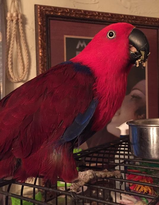 Olivia is a 18 year old female Eclectus who was adopted in August 2018! She is typical to her breed in that she is quite timid and nervous at first, but with patience, trust and treats she comes out of her shell. Eclectus parrots have very specific dietary needs and live for 40+ years. They are native to the Solomon Islands ,  Sumba ,  New Guinea and nearby islands, northeastern Australia  and the  Maluku Islands (Moluccas).