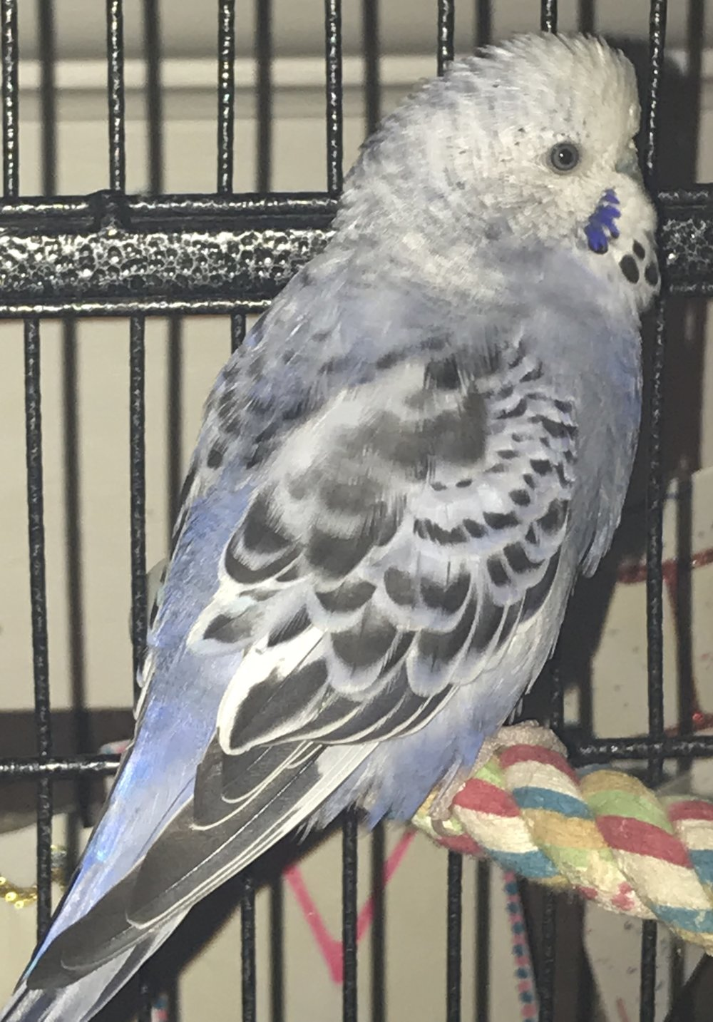 Mescal was adopted in November 2018. She is a parakeet who was transferred to CTPR from the MSPCA through our rescue-partnership.  Parakeets are native to Australia and live for 10+ years.