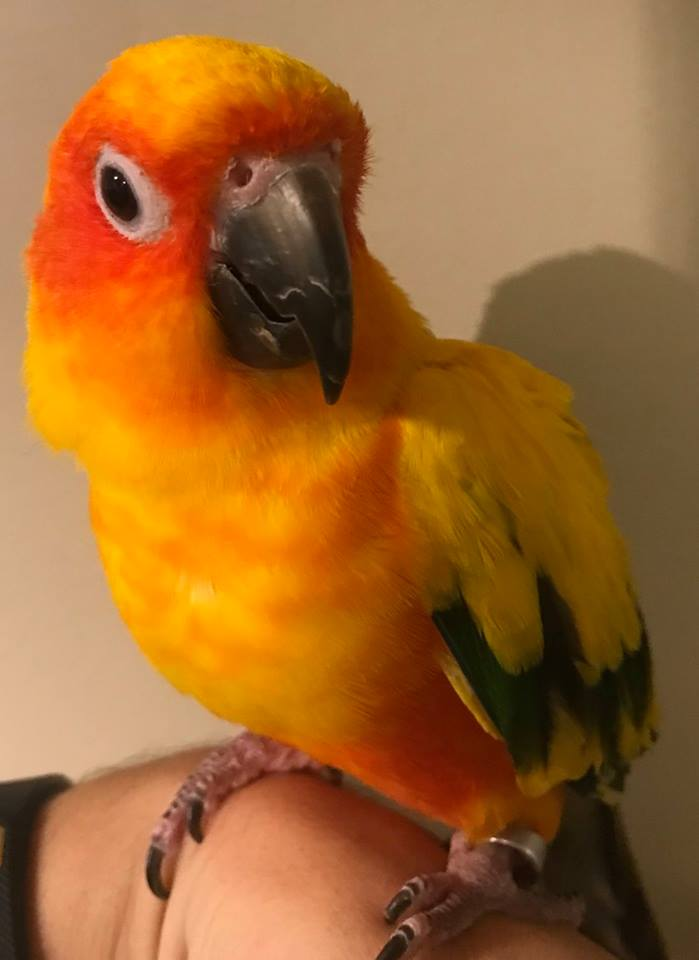 Kiwi is an adult sun conure. He/she does well with a confident person who he/she learns can be trusted. Kiwi is very sweet and comes out of his/her shell quickly in the right environment.  Sun Conures live for 25+ years and are native to South America. Kiwi's adoption fee is $250. Please complete an application below to meet Kiwi.