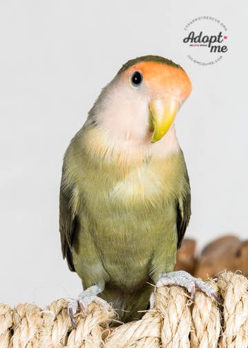 6 year old Oliver was adopted in February 2018 and gained some birdie siblings to keep him company! Good luck little man! Lovebirds live for 10+ years and are native to Africa.  Photo Courtesy of J ulie McGuire Photography http://www.juliemcguire.com
