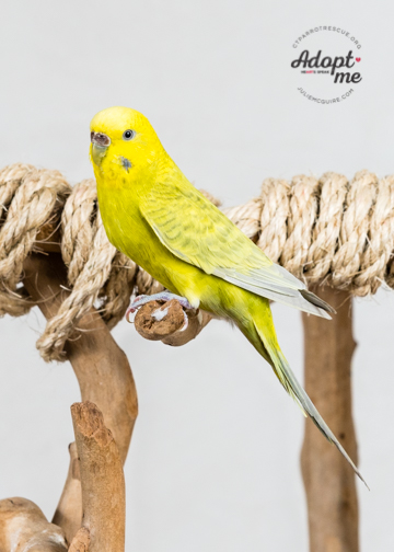 Jenna was adopted in July 2018! Parakeets live for 10+ years and are native to Australia. Photo Courtesy of J ulie McGuire Photography http://www.juliemcguire.com