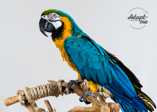 Miami is a 19 year old male Blue and Gold Macaw. He has only had one home and has been well cared for an loved. He is a fantastic macaw in that with a little trust, he actively engages all those around him. Miami's adoption fee is $500. Blue and Gold Macaws live 60+ years and are native to Central and South America. If you are interested in meeting Miami, please follow the process below.  Photo Courtesy of J ulie McGuire Photography http://  www.juliemcguire.com
