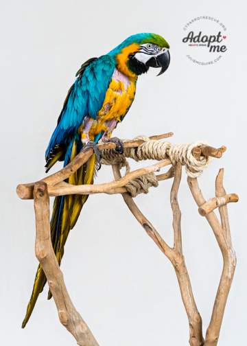 Buddy - a 19 year old Blue and Gold Macaw - was adopted in April 2018! Macaws live for 60+ years and are native to Central and South America.  Photo Courtesy of J ulie McGuire Photography http://www.juliemcguire.com