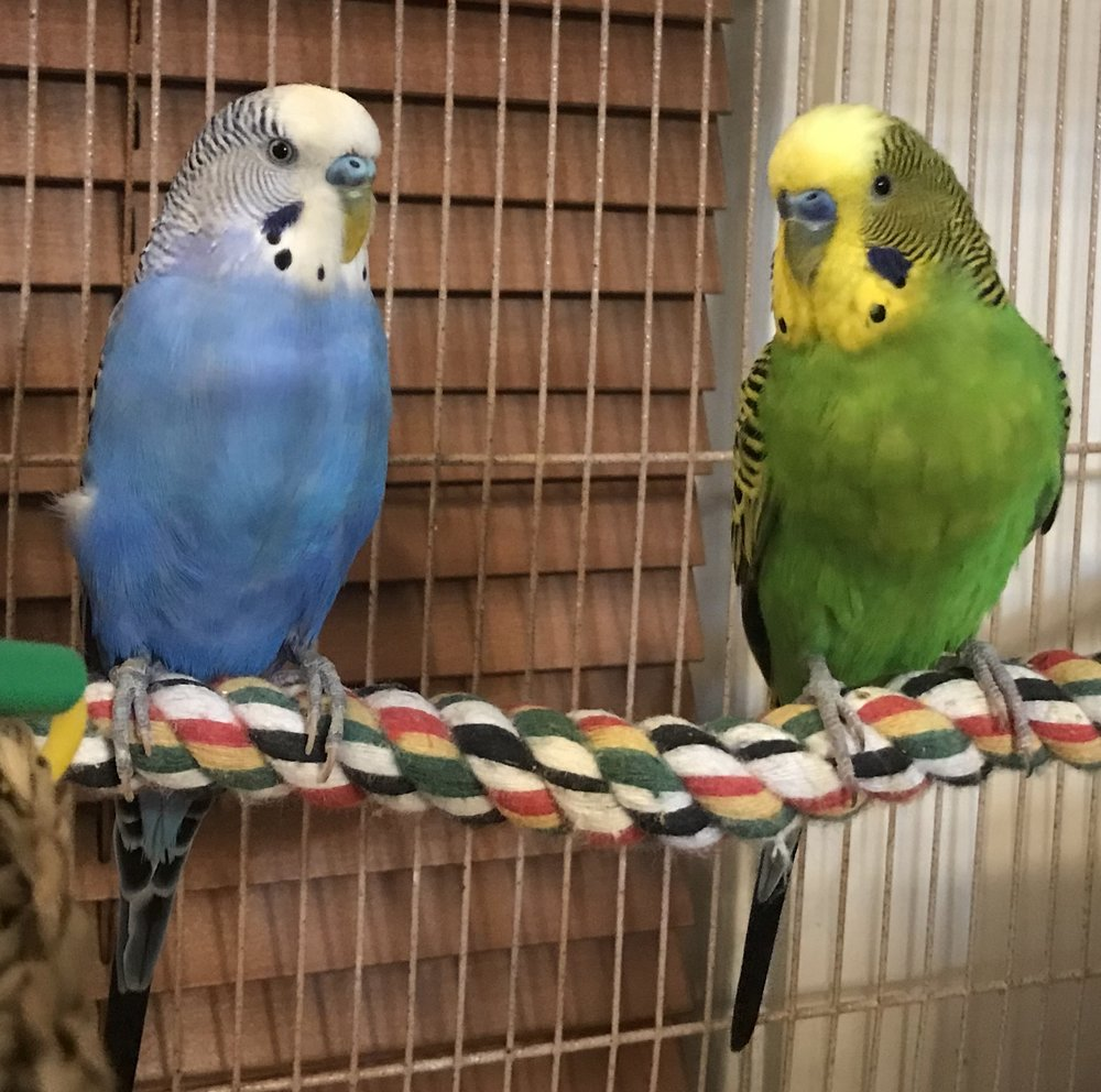 Star and Bella, two fantastic 6 year old parakeets were adopted in February 2018!