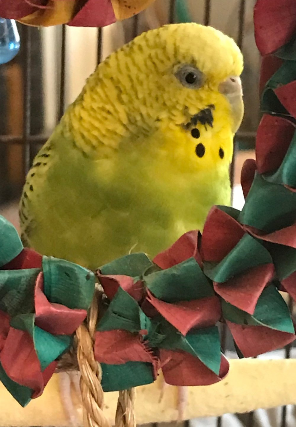 Lily was adopted in July 2018! She is an adult female parakeet who was found outside by one of our former adopters. Parakeets are native to Australia and live for 10+ years.