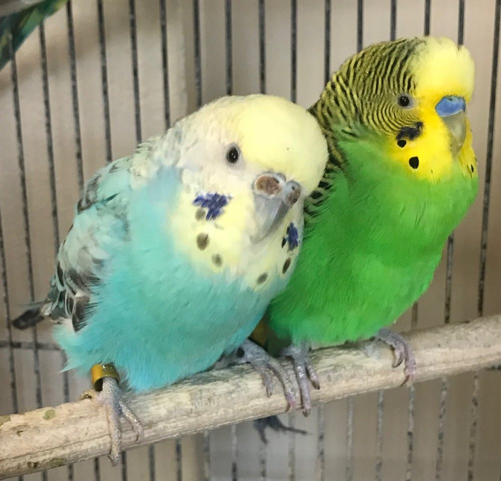 Petal and Buddy are a bonded pair of parakeets. They are incredibly adorable together! Petal (4 year old female) has a history of breeding so we are working to improve her diet and reduce her risk of laying any more eggs. Buddy is her son (and grandson as a result of 'accidental' breeding) is 1.5 years old. Parakeet adoption fees are $30 for a single, $50 for a pair, and include a cage, perches, toys and food to get them settled into their new homes. All have been tested for Psittacosis and PBFD. Parakeets are native to Australia and live for 10+ years. Fill out an application below to meet them!
