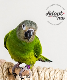 10 year old Sonny was adopted in May 2019!  Dusky conures live for 25+ years and are native to South America. Photo Courtesy of J ulie McGuire Photography http://www.juliemcguire.com