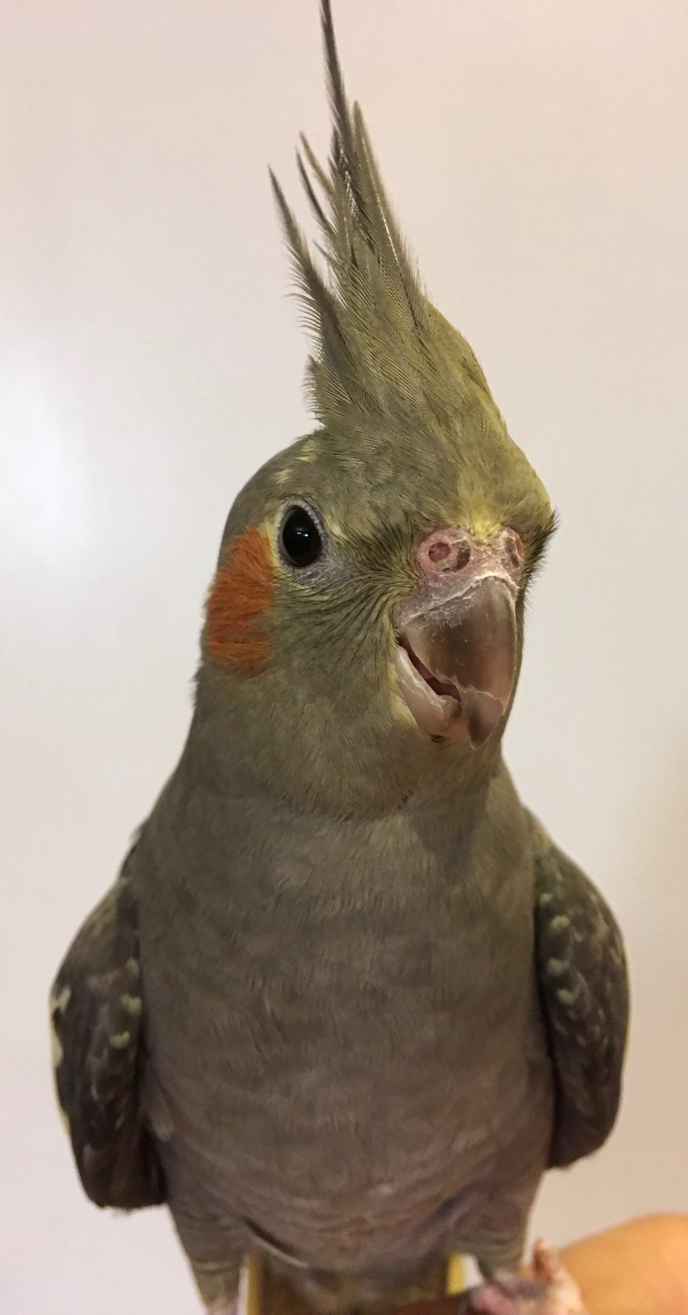 ADOPTION PENDING - Chicklet is a 2 year old female cockatiel. While initially shy, she is a sweet girl who will hang out with you for a little while. With more time and attention, she will be a great girl! Cockatiels live for 20+ years and are native to Australia.