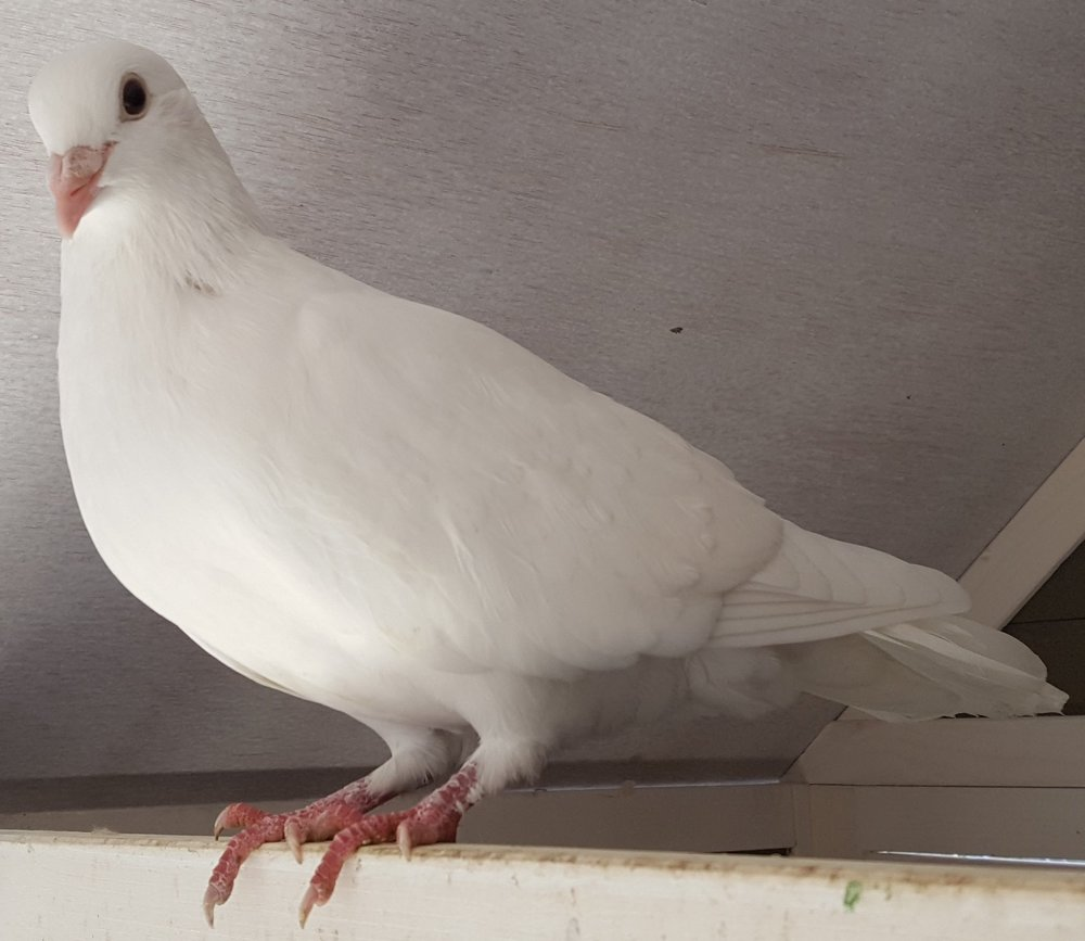 ADOPTED DECEMBER 2018! Thea is a white pigeon who was found and cared for by a lovely family and then surrendered to us as soon as her disease testing came in. She is open to human interaction and is acclimated to living indoors (in a large cage) or outdoors (in a secure enclosure. Doves and Pigeons live 30+ years in captivity.