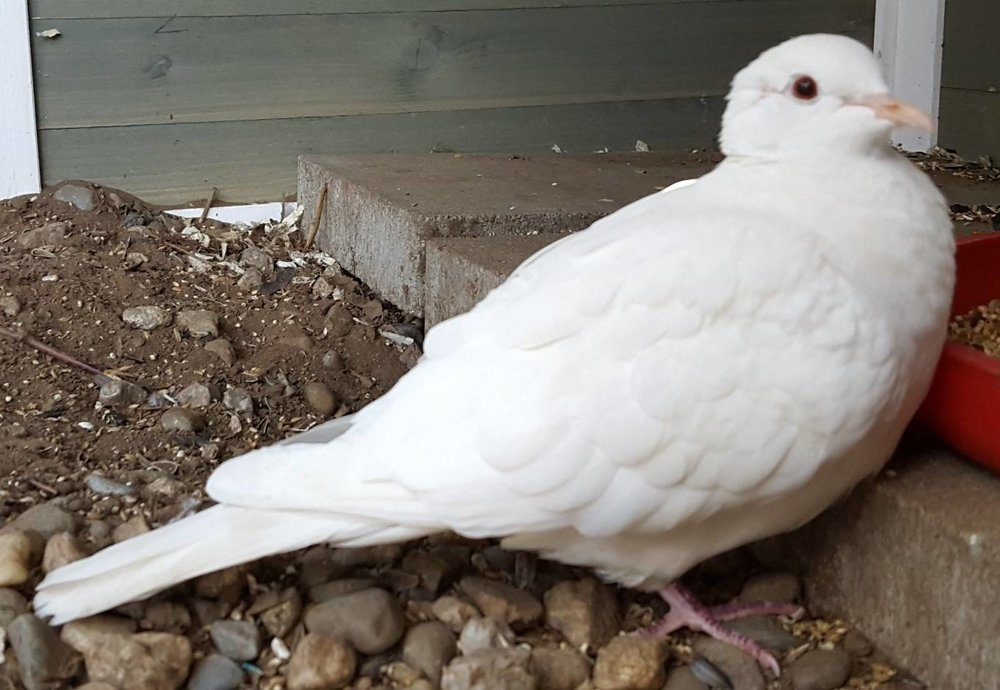 5 year old Wally was adopted in December 2018. Doves and Pigeons live 30+ years in captivity.