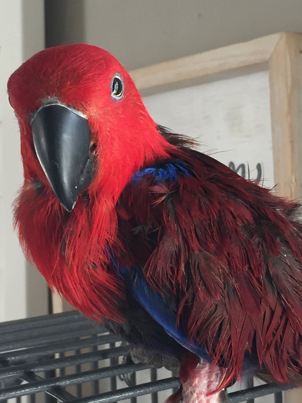 4 year old Lola was adopted in March 2019! Eclectus parrots have very specific dietary needs and live for 40+ years. They are native to the Solomon Islands, Sumba, New Guinea and nearby islands, northeastern Australia and the Maluku Islands (Moluccas).