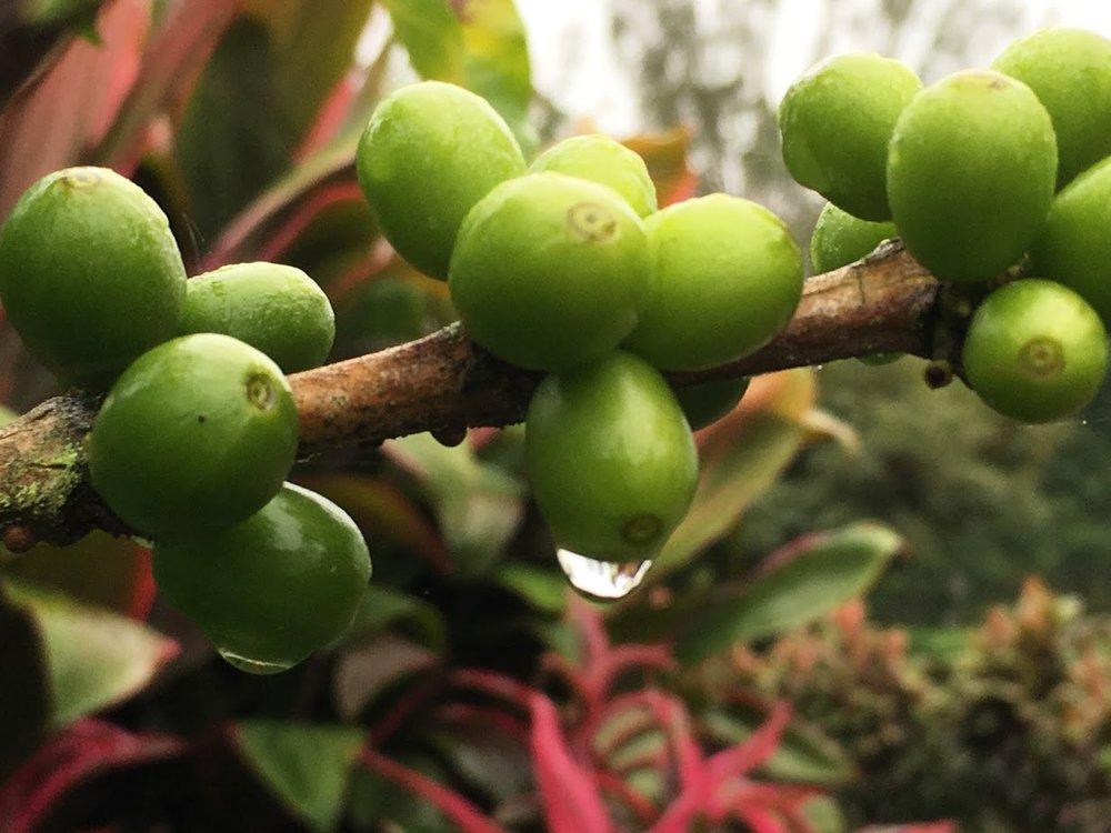 Green Coffee Fruit.JPG