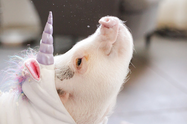 this-piglet-dressed-as-a-unicorn-is-making-everyo-2-27550-1428331582-29_dblbig.jpg