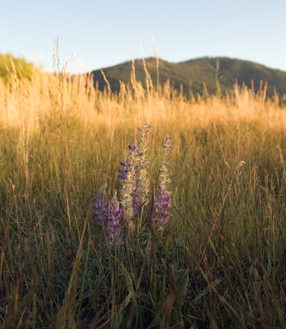 Purple Lupine in Martis Valley