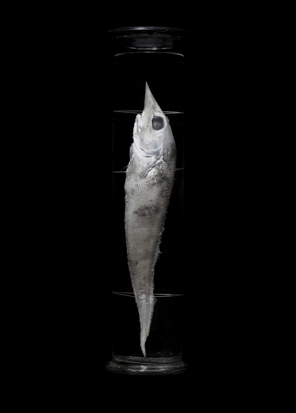 Coelorhynchus Risso