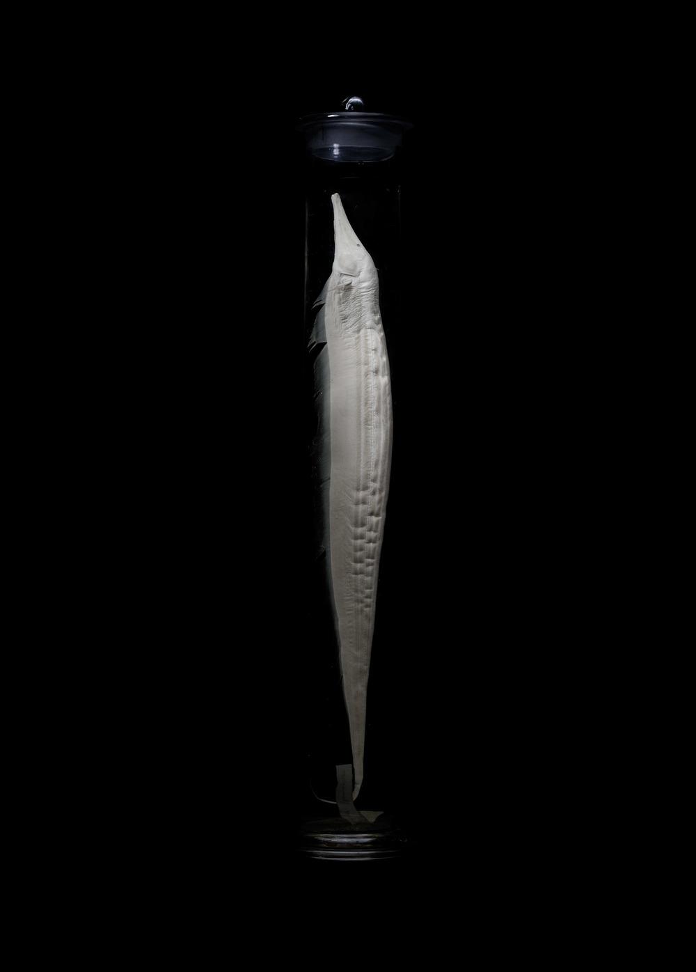 Rhamphichthys rostratus