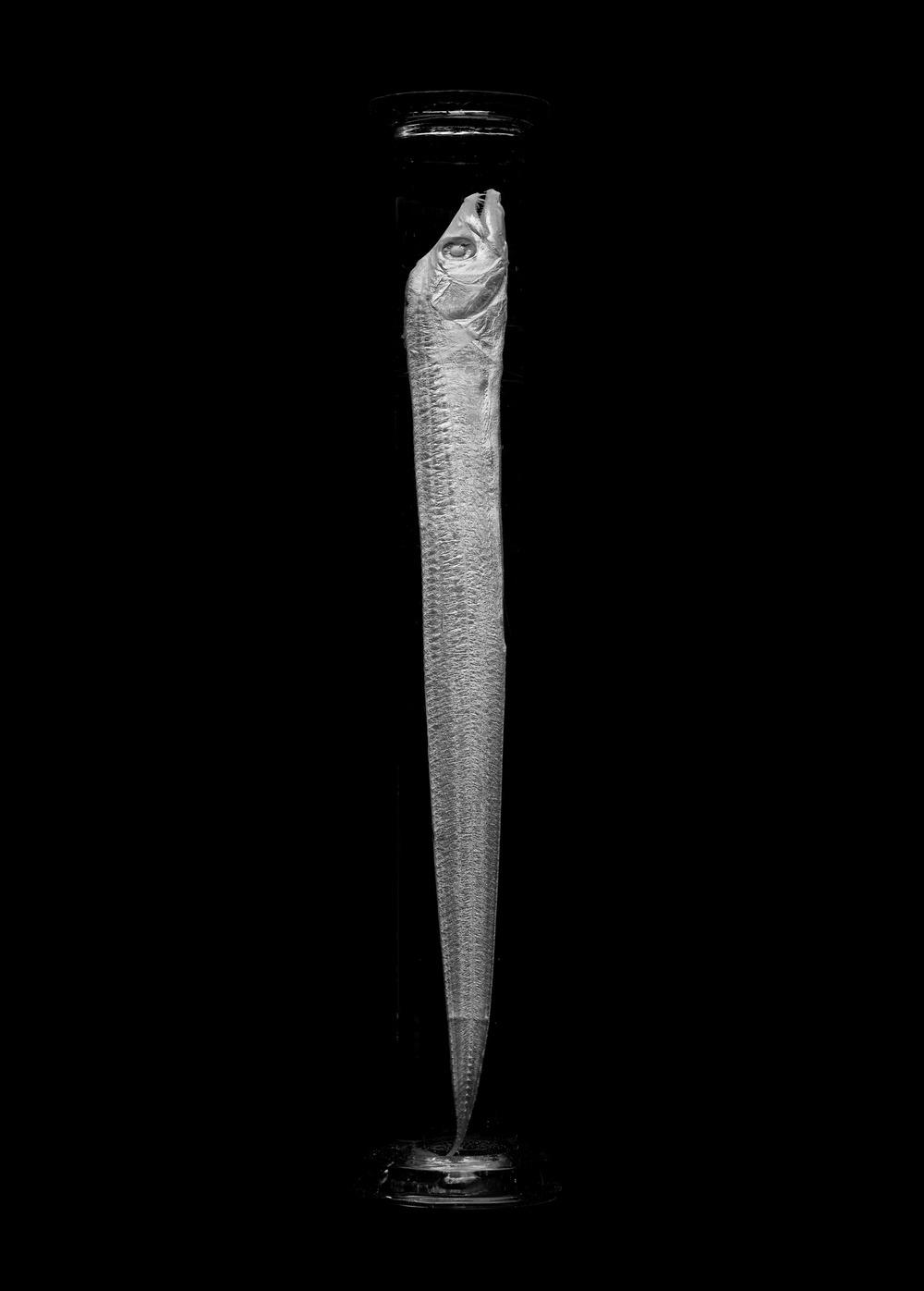 Trichiuridae