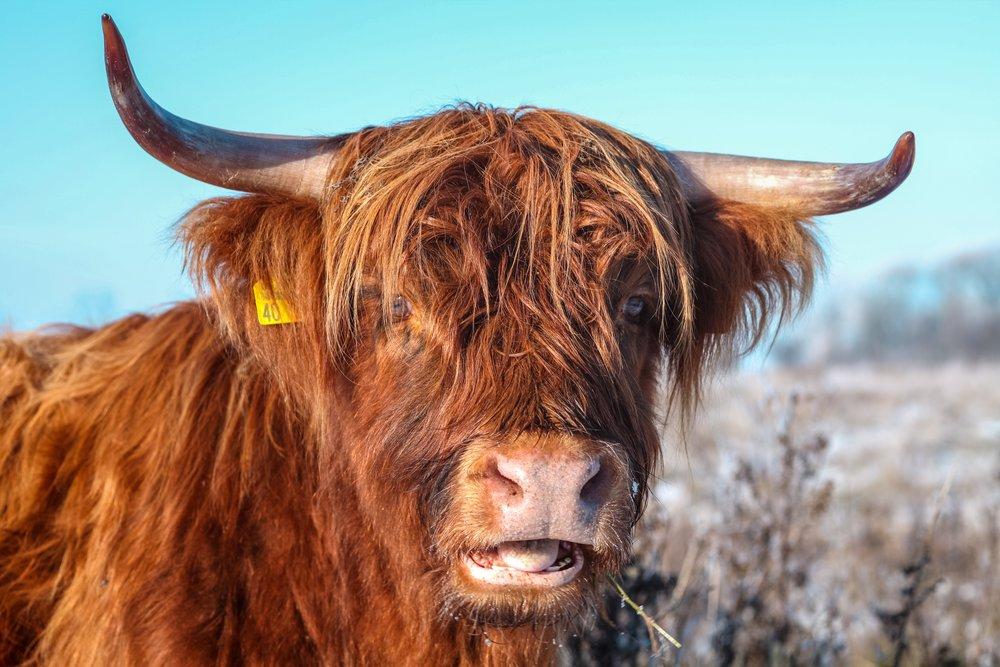 grass-animal-wildlife-horn-fur-pasture-835959-pxhere.com.jpg