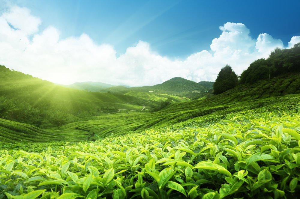 tea-plantation_malaysia.jpg