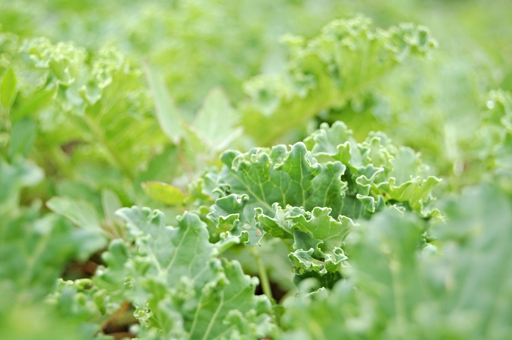 Baby Blue Dwarf Kale
