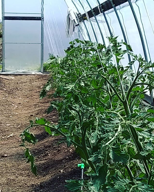 Getting the tomatoes strung up, tis the season 🍅🍅🍅#brickelcreekorganic #cherry tomatoes #organicfarm #organic #heriloomtomatoes #heriloom #womenwhofarm