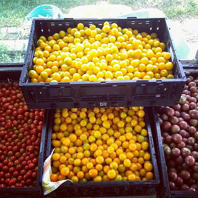 The tomatoes are plentiful!!🍅🍅#cherrytomatoes #brickelcreekorganic #womenwhofarm #lowerandlean #farmfresh #organicfarm