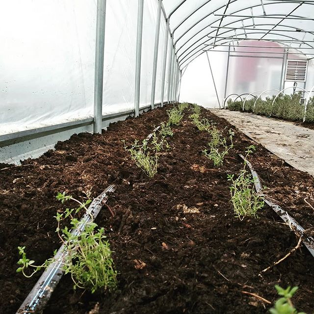 🌿New thyme for the herb house🌿  #brickelcreekorganic #organicherbs #thyme #womenwhofarm #organic