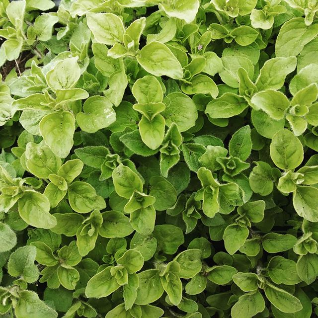 ❤The marjoram looking so sweet❤  #marjoram #brickelcreekorganic #organicherbs #herbs #womenwhofarm