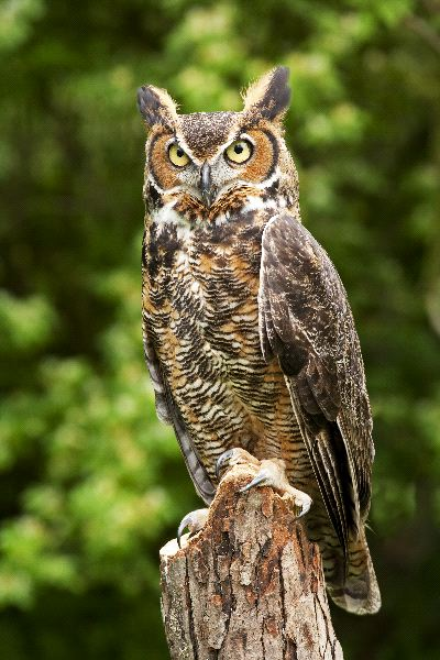 Great_Horned_Owl whole.jpg
