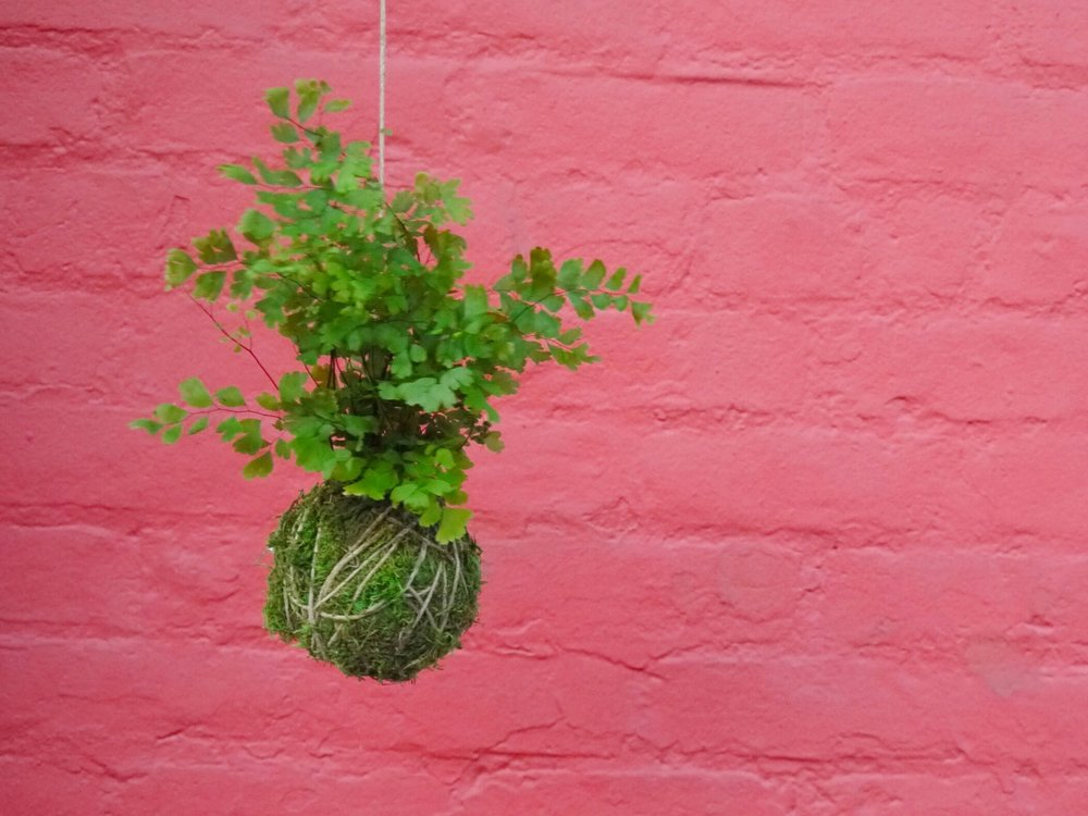 "Kokedama - Grow a Thriving String GardenKokedama 苔玉, translated as ""moss ball"", is a variant of bonsai that has been practiced by the Japanese since 1600 AD. In a kokedama, the plant's root system is wrapped in moss and bound with string, transforming it into a living sculpture. The plant is able to thrive while having its root system completely contained by the moss ball."