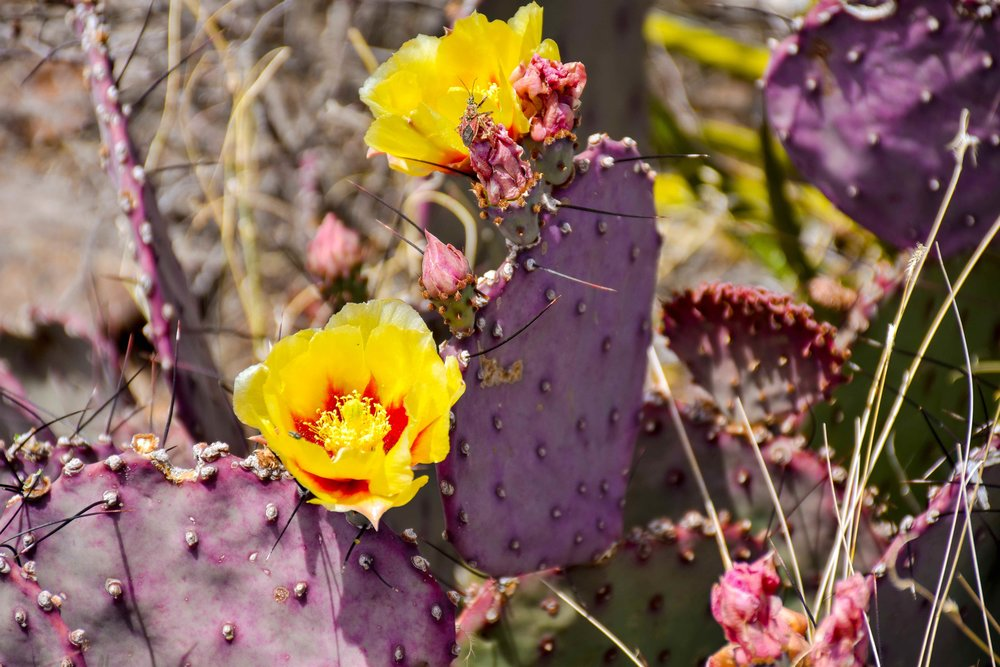 OPUNTIA MACROCENTRA  - PURPLE PRICKLY PEAR