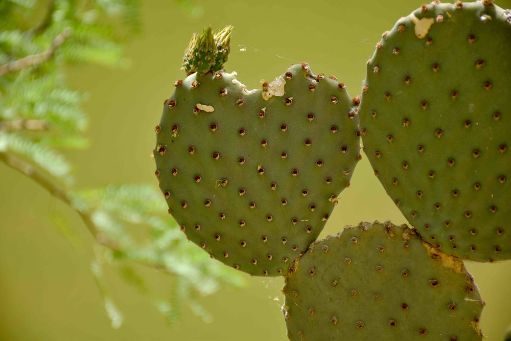 big bend green heart cactus.jpg