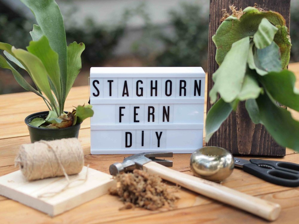 staghorn fern diy.jpg