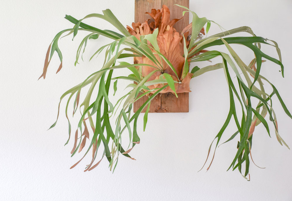 Staghorn Ferns - These mounted epiphytes bring organic dimension to any space.