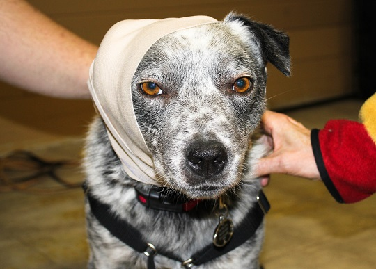 Walks N Wags teach and sponsor pet first aid training for Regina Humane Society foster families