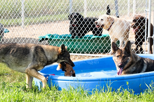 Dexter and Sula and the Chapman pack enjoy the summer heat
