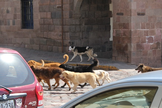 Community animal problem in Cuzco, Peru