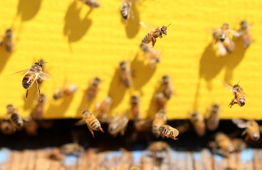Honey bees at their hive